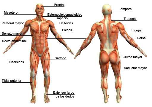 DOCENTECA - Sistema múscular con actividades!